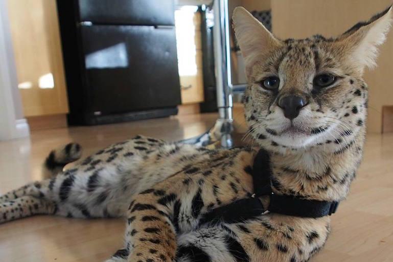 le savannah est une nouvelle race de chats originaire des tats unis. Black Bedroom Furniture Sets. Home Design Ideas
